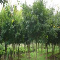 供應雞爪槭
