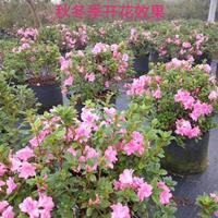安酷杜鹃,9个品种