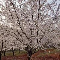 樱花产地 销售早樱 晚樱  日本早樱 染井吉野价格图片