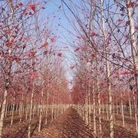 沭陽美國紅楓基地 秋火焰 美國紅楓小苗價格 圖片