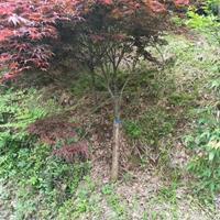 沭阳中国红枫基地 大量销售中国红枫小苗 日本红枫价格图片