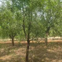 枣树产地 枣树小苗价格 枣树大小规格齐全 图片