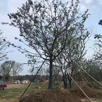 沭陽樸樹基地 大量直銷樸樹小苗 白櫸 叢生樸樹價格圖片