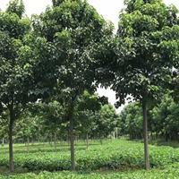 沭陽楸樹基地 銷售楸樹小苗價格 梓樹圖片