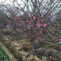 沭阳海棠基地 销售垂丝海棠 大叶垂丝 小叶垂丝 甜茶 片