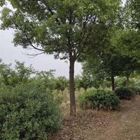 沭阳本地香樟 原冠香樟 移植香樟 香樟苗价格表图片