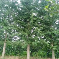 沭陽銀杏基地 大量供應銀杏小苗 白果樹 銀杏價格表圖片