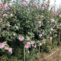沭陽木槿基地 大量直銷紅花木槿 重瓣木槿 木槿小苗圖片