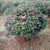 茶梅产地 茶梅树价格 茶梅球图片茶梅小苗多少钱一株