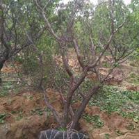 10公分到15公分杏树基地·20公分杏树产地批发价格多少钱