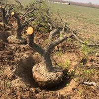 山西省杏树基地·运城市杏树种植产地杏树规格齐全