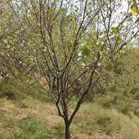 杏树基地·低价出售果园杏树·嫁接红梅的杏树桩量大