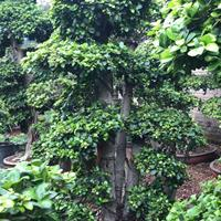 福建榕樹價格450元一株15公分