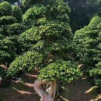 福建榕樹習性
