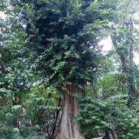 10-60公分福建榕樹價格/基地