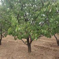 3-5公分杏树苗价格·3-5公分山杏价格·供应山西运城杏树