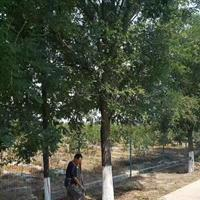 15公分國槐行道樹價格·18公分20公分國槐量大多少錢