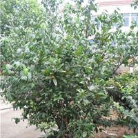 供應叢生臘梅樹苗