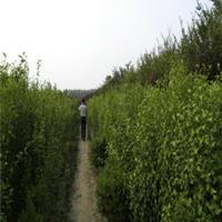 供应丛生木槿树苗