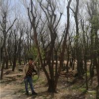 供應叢生樸樹樹苗