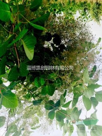 淄博凯创园林观赏性乔木树种――黄栌