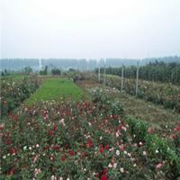 供應鉆石玫瑰樹苗