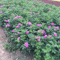 四季玫瑰基地 四季玫瑰價格 四季玫瑰50萬棵供應