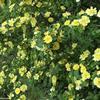 黃刺玫基地 黃刺玫價格 黃刺玫圖片 黃刺玫60厘米 50萬棵