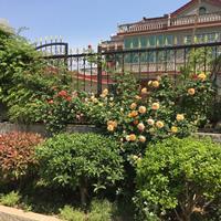 蔷薇基地 蔷薇月季图片 爬藤蔷薇介绍 红花蔷薇8万棵库存