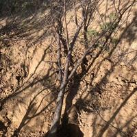 桃树基地,山桃什么地方多?哪些地区山桃种植的多?