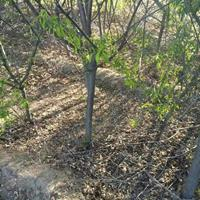 山西桃树基地·5公分6公分8公分10公分山桃具体价格