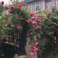 蔷薇花一棵多少钱 红花蔷薇产地在哪里 零售蔷薇月季快递发货