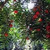 红豆杉价格、红豆杉厂家、山西3米红豆杉培育基地