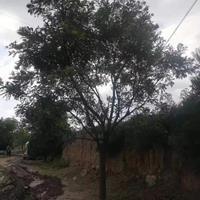 行道树20-25公分国槐一类价格·二类价格·三类国槐报价