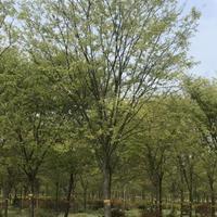榉树 江苏优质榉树价格/报价/红榉树产地