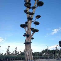 油橄榄高端景观树别墅庭院造景树