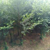 供應大量5公分以下5萬根南方紅豆杉
