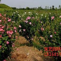 江蘇常年供應規格2~8公分木槿樹 木槿樹價格