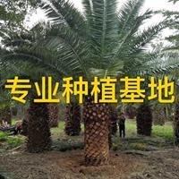加拿利海棗價格批發報價 桿高2米 加拿利海棗樹圖片