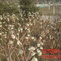 江蘇常年供應規格50~80公分結香樹 結香樹價格