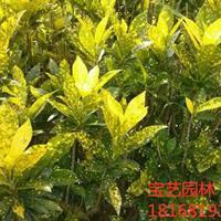 江苏常年供应规格20~50hg1088.com|首页洒金桃叶珊瑚 洒金桃叶珊瑚价