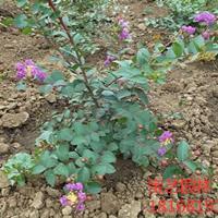 江蘇常年供應規格2公分~15公分矮紫薇 矮紫薇價格