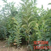 江蘇常年供應規格10公分~20公分板栗樹 板栗樹價格