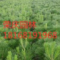 江苏常年供应规格3公分~15公分黑松苗