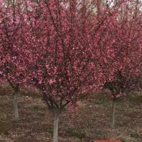 垂丝海棠树苗价格哪里便宜?垂丝海棠小苗多少钱一株?