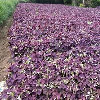 优质紫叶酢浆草 红花酢浆草地被植物花草 兰花三七 介沿草