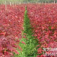 江蘇美國紅楓米徑10cm地徑12cm