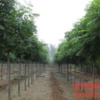 江蘇常年供應規格3公分~18公分黃山欒樹 黃山欒樹價格