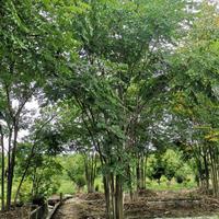 叢生黃山欒樹
