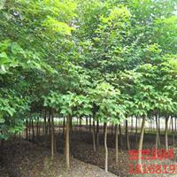 江蘇常年供應規格1公分~18公分重陽木